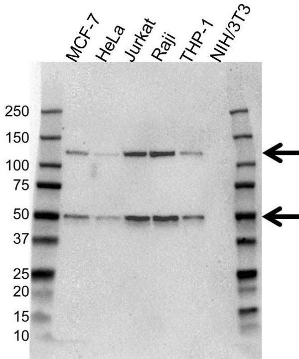 Anti NFkB p50 Antibody (PrecisionAb Monoclonal Antibody) gallery image 1
