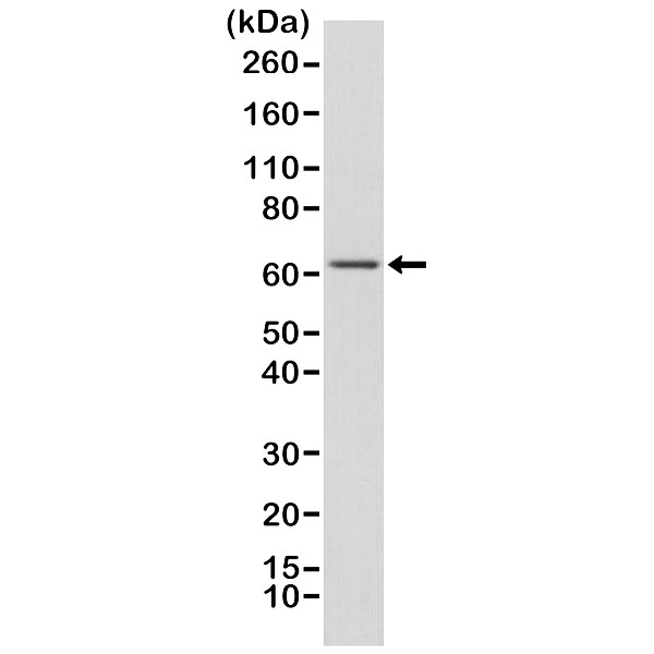 Anti NFkB p65 Antibody, clone RM273 thumbnail image 1