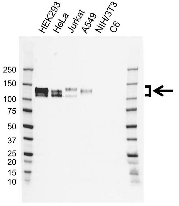 Anti Nicastrin Antibody, clone CD01/3H8 (PrecisionAb Monoclonal Antibody) gallery image 1