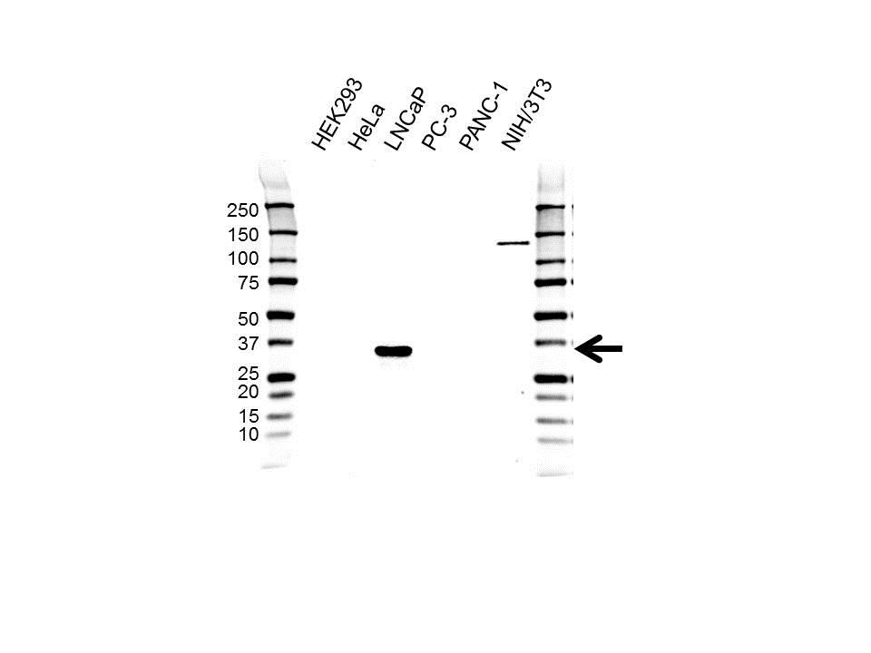 Anti NKX3-1 Antibody, clone UMAB195 (PrecisionAb™ Monoclonal Antibody) gallery image 1