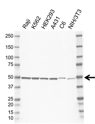 Anti NOB1 Antibody, clone F02/5F11 (PrecisionAb Monoclonal Antibody) gallery image 1