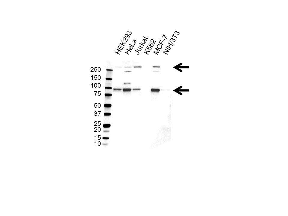 Anti Notch 3 (C-Terminal) Antibody (PrecisionAb™ Monoclonal Antibody) gallery image 1