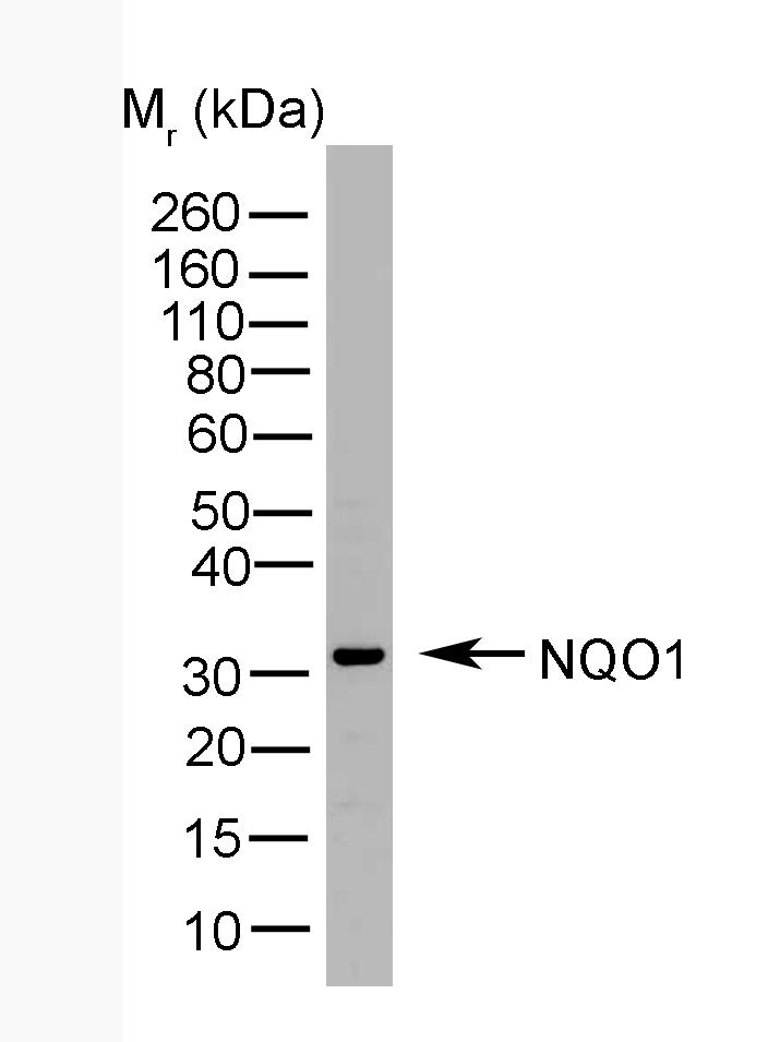 Anti Human NQO1 Antibody, clone A180 thumbnail image 1