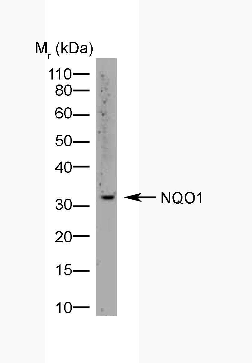 Anti Human NQO1 Antibody, clone A180 thumbnail image 2