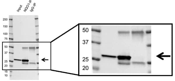 Anti Human NQO1 Antibody, clone A180 thumbnail image 3
