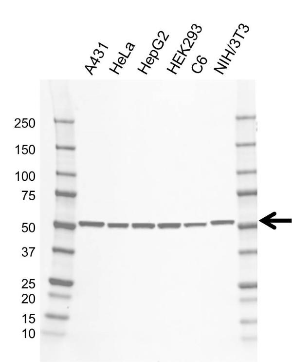 Anti NR1H4 Antibody, clone CD01/3F5 (PrecisionAb Monoclonal Antibody) gallery image 1