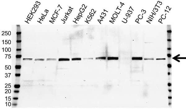 Anti NR2C2 Antibody, clone OTI1E1 (PrecisionAb Monoclonal Antibody) gallery image 1