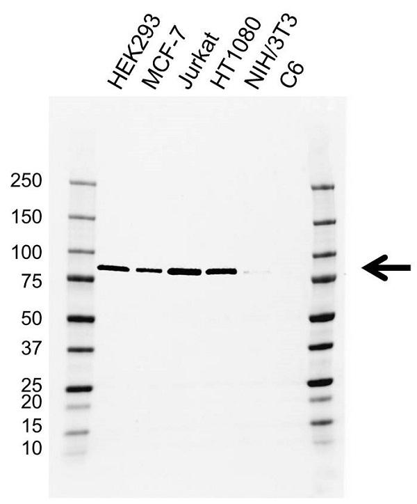 Anti Nuclear Cap Binding Protein Subunit 1 Antibody, clone EF03/2E5-3 (PrecisionAb Monoclonal Antibody) gallery image 1