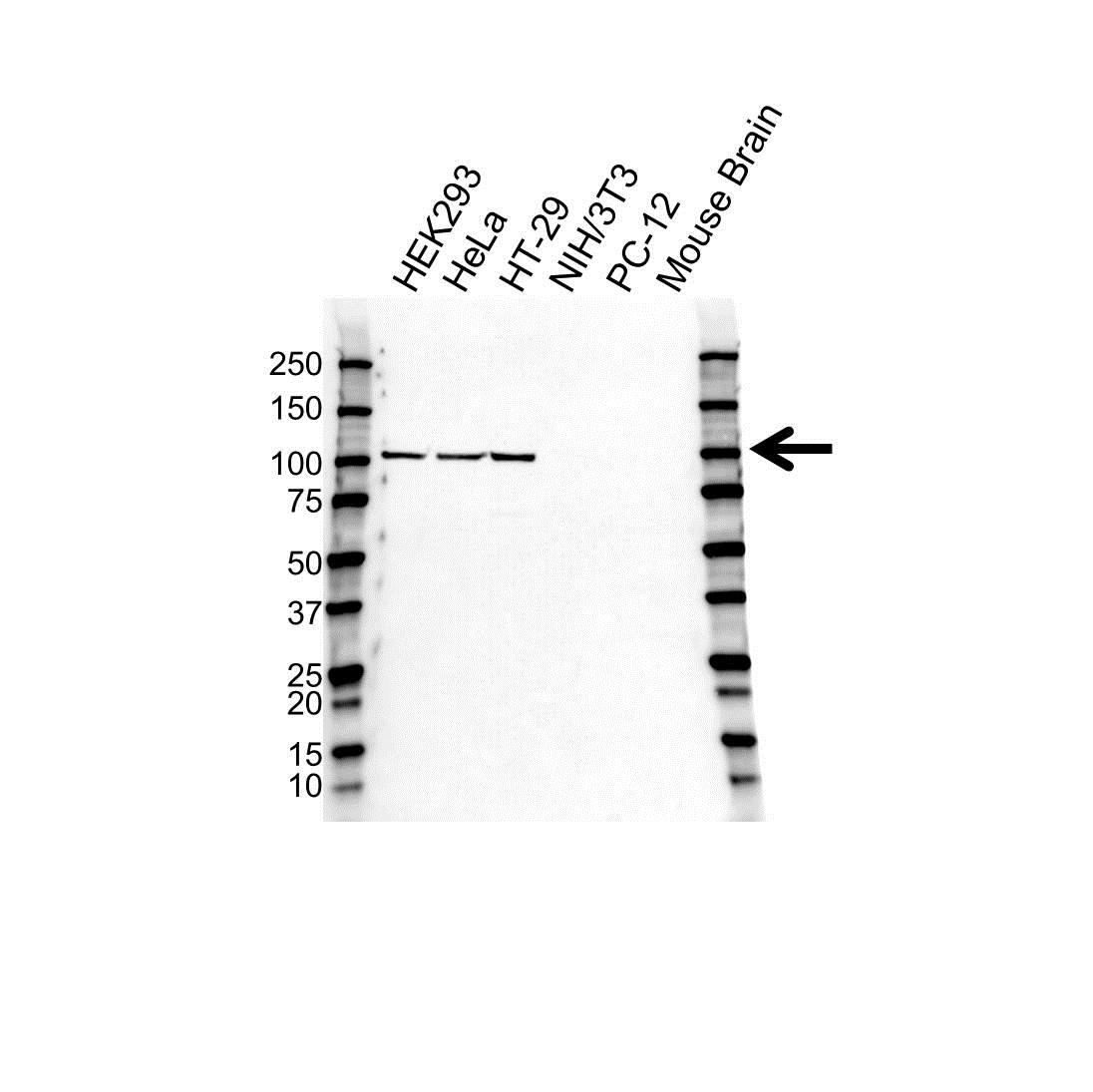 Anti Nucleolin Antibody (PrecisionAb™ Monoclonal Antibody) gallery image 1