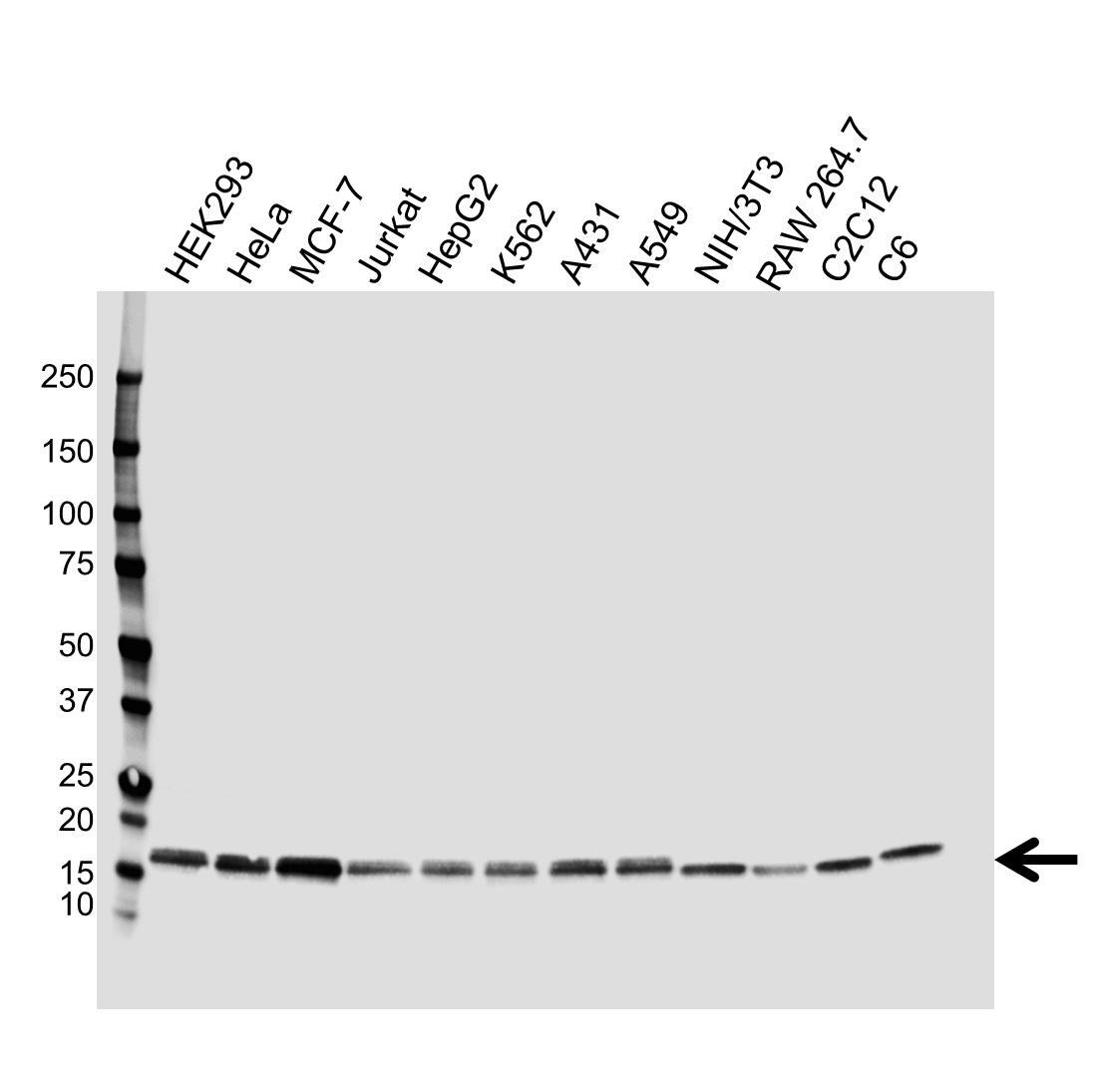 Anti Nucleoside Diphosphate Kinase A Antibody (PrecisionAb Monoclonal Antibody) gallery image 1