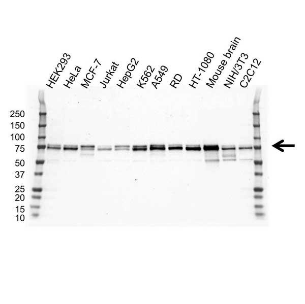 Anti NUMB Antibody, clone OTI3E5 (PrecisionAb™ Monoclonal Antibody) gallery image 1