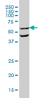 Anti Human OCLN Antibody, clone 1G7 thumbnail image 1