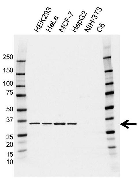 Anti OTUB1 Antibody, clone AB01/3A9 (PrecisionAb Monoclonal Antibody) thumbnail image 1