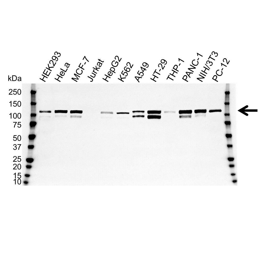 Anti p130Cas Antibody, clone OTI3A11 (PrecisionAb™ Monoclonal Antibody) gallery image 1