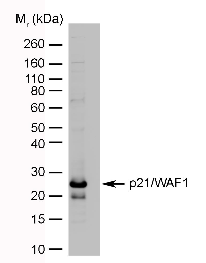Anti Human p21/WAF1 Antibody, clone WA-1 gallery image 1