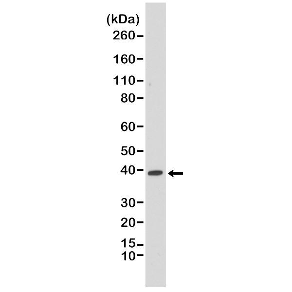 Anti p38 MAPK Antibody, clone RM245 thumbnail image 1