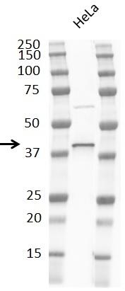 Anti p38 MAPK Antibody, clone RM245 thumbnail image 3