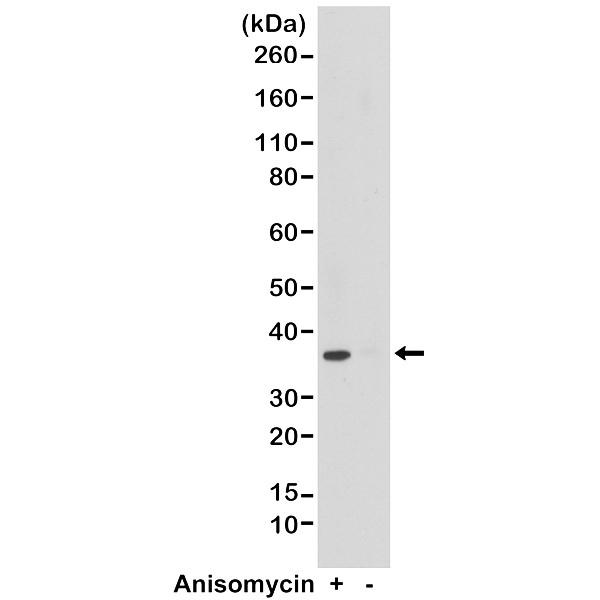 Anti p38 MAPK (pThr180/pTyr182) Antibody, clone RM243 thumbnail image 1
