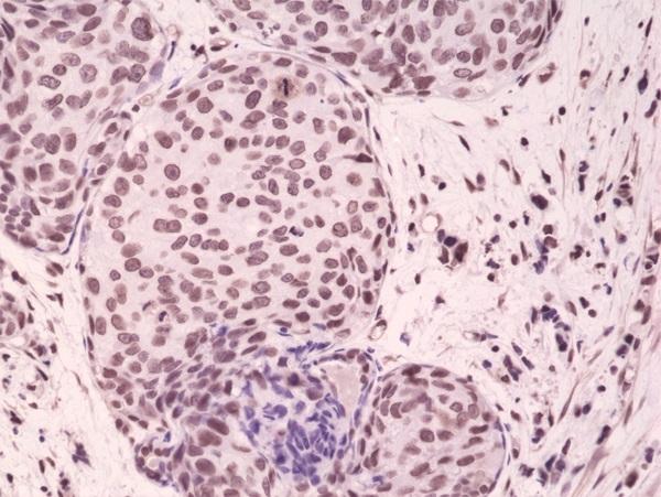 Anti p38 MAPK (pThr180/pTyr182) Antibody, clone RM243 thumbnail image 2