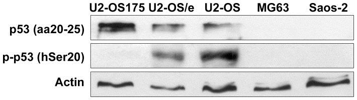 Anti p53 (aa20-25) Antibody, clone DO-1 thumbnail image 1