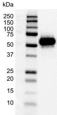 Anti p53 Antibody, clone DO-1 (PrecisionAb Monoclonal Antibody) thumbnail image 1
