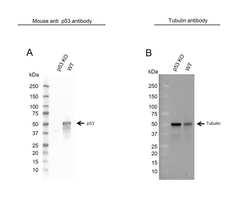 Anti p53 Antibody, clone DO-1 (PrecisionAb Monoclonal Antibody) thumbnail image 3
