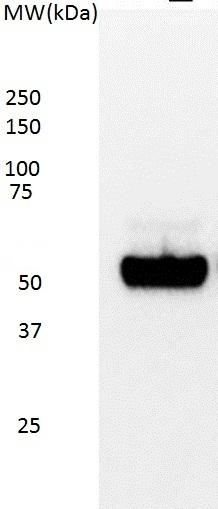Anti p53 (aa20-25) Antibody, clone DO-7 thumbnail image 1