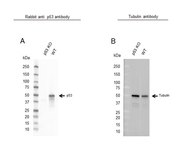 Anti p53 Antibody, clone TP53/1799R (PrecisionAb Monoclonal Antibody) thumbnail image 2