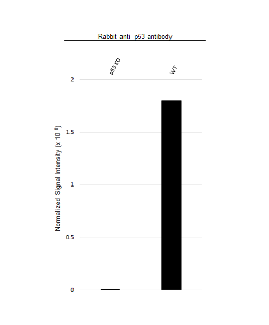 Anti p53 Antibody, clone TP53/1799R (PrecisionAb Monoclonal Antibody) thumbnail image 3
