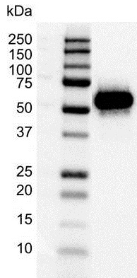 Anti p53 Antibody (PrecisionAb Monoclonal Antibody) thumbnail image 1