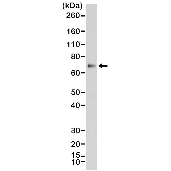 Anti p63 Antibody, clone RM383 thumbnail image 1