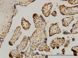 Anti Human p70S6K Antibody, clone 1E12 thumbnail image 3
