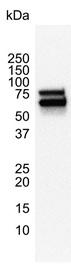 Anti Human p70S6K Antibody, clone 1E12 thumbnail image 4