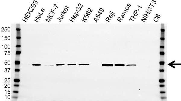 Anti PAICS Antibody, clone OTI5B6 (PrecisionAb Monoclonal Antibody) gallery image 1