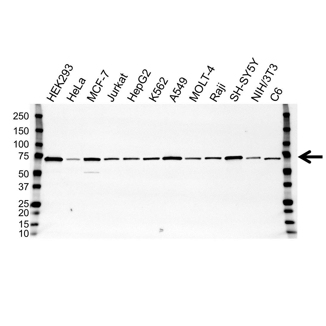 Anti PAK4 Antibody, clone OTI1C7 (PrecisionAb Monoclonal Antibody) gallery image 1