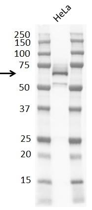 Anti Paxillin Antibody, clone RM256 thumbnail image 1