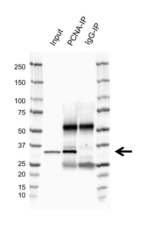 Anti PCNA Antibody, clone PC10 (PrecisionAb Monoclonal Antibody) thumbnail image 3
