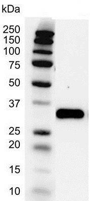 Anti PCNA Antibody (PrecisionAb Monoclonal Antibody) thumbnail image 2