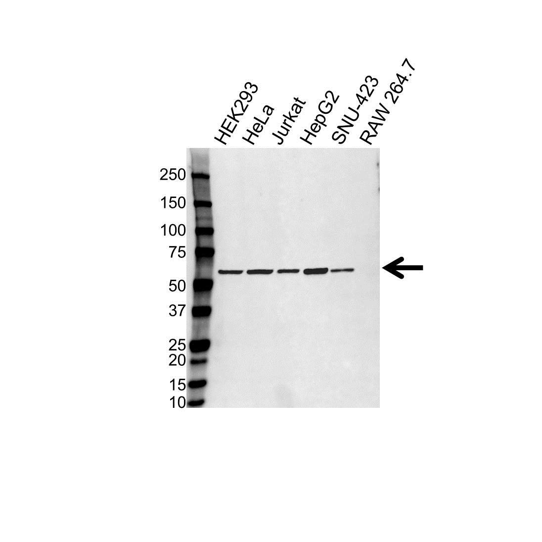 Anti PDIA3 Antibody (PrecisionAb™ Monoclonal Antibody) gallery image 1