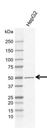Anti PDIA6 Antibody, clone CD02/1D11 (PrecisionAb Monoclonal Antibody) thumbnail image 1