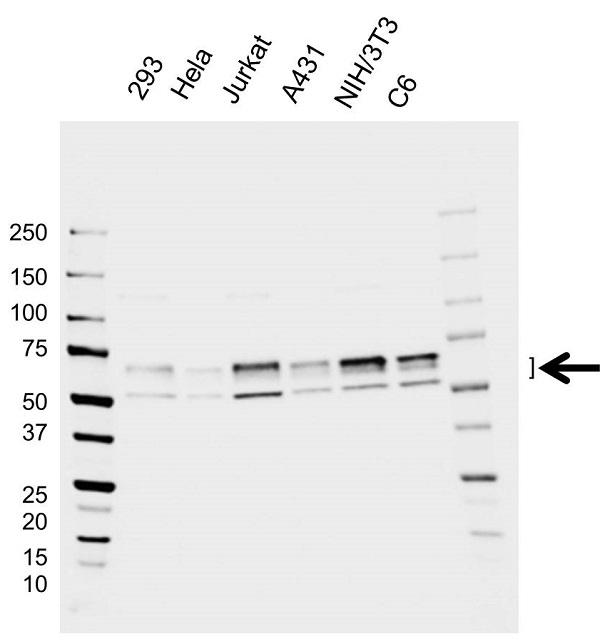 Anti PDPK1 Antibody, clone EF01/2H4 (PrecisionAb Monoclonal Antibody) gallery image 1