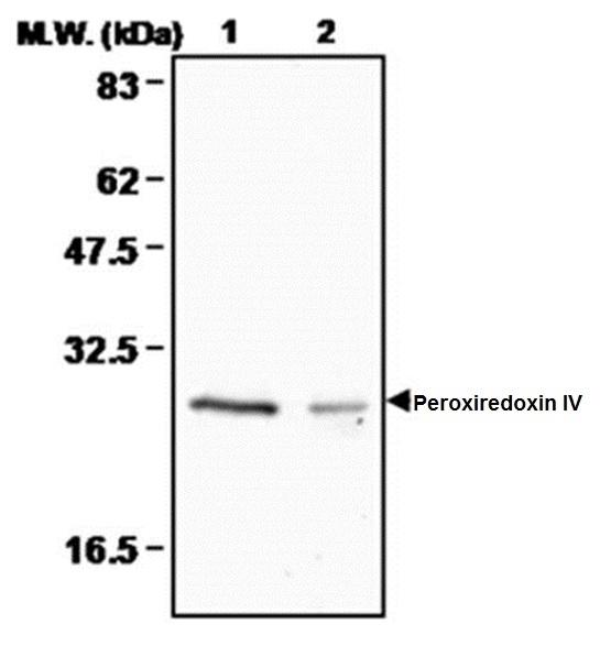 Anti Peroxiredoxin 4 Antibody, clone 3A1 thumbnail image 1