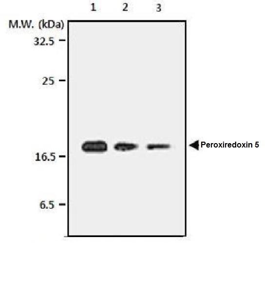 Anti Peroxiredoxin 5 Antibody, clone 3F11 thumbnail image 1
