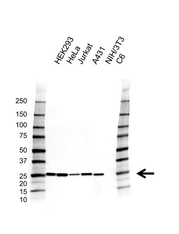 Anti Peroxiredoxin 6 Antibody, clone AB02/4A2 (PrecisionAb Monoclonal Antibody) gallery image 1