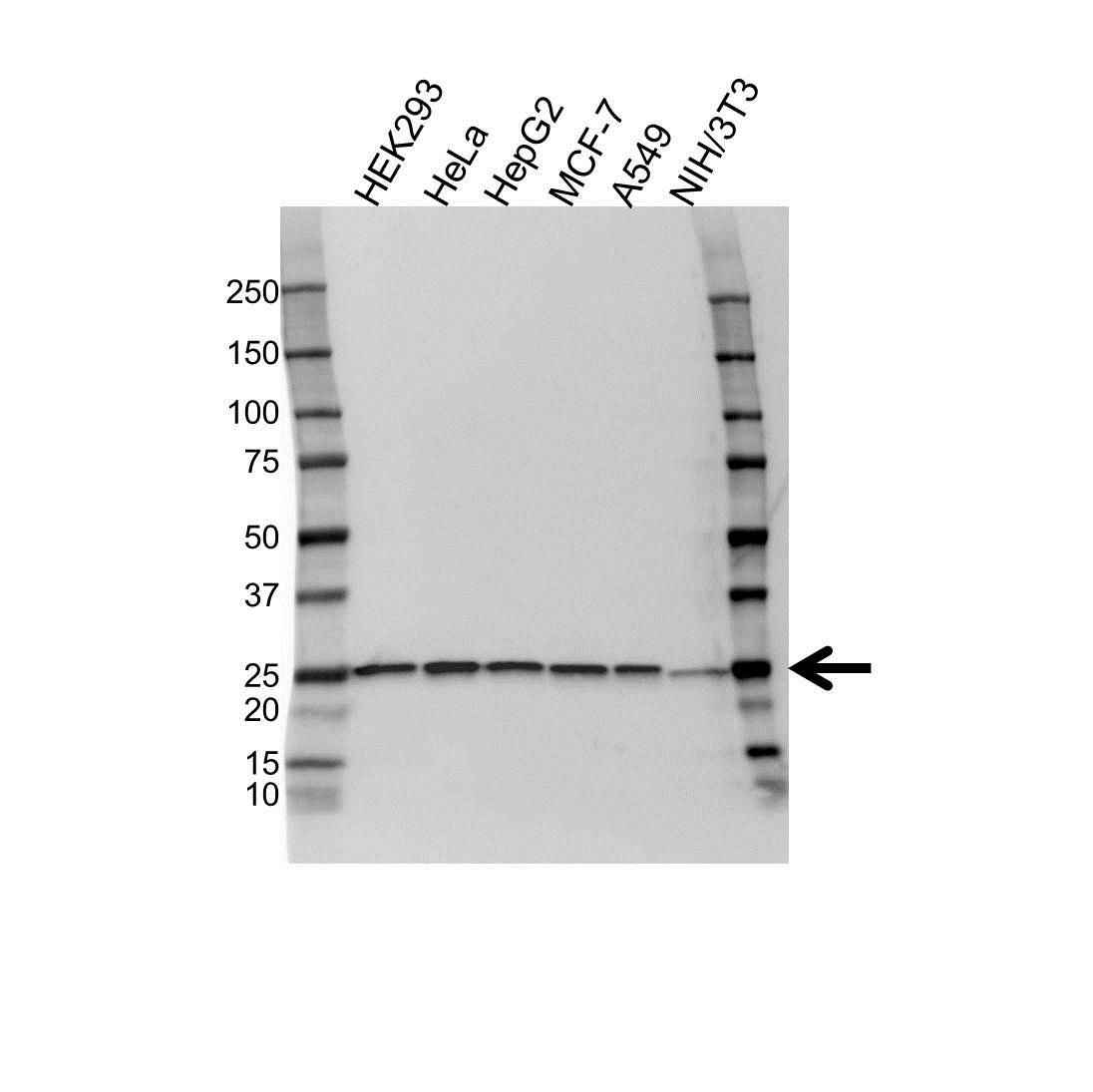 Anti Peroxiredoxin 6 Antibody (PrecisionAb Monoclonal Antibody) gallery image 1