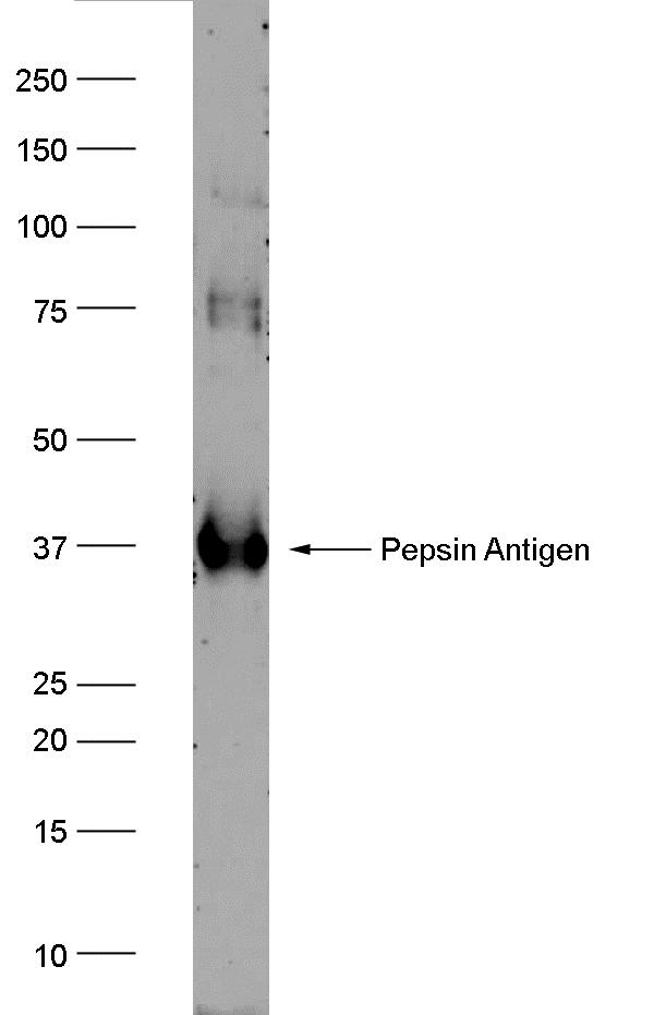 Anti Human PGA3 Antibody, clone AbD10785 gallery image 1