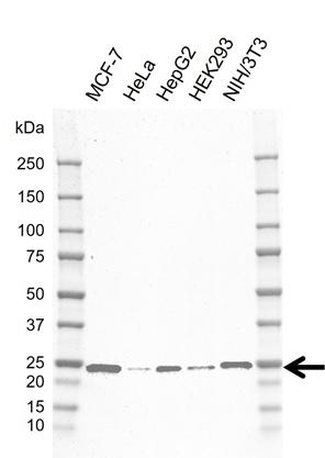 Anti PGRMC1 Antibody, clone CD02/1A2 (PrecisionAb Monoclonal Antibody) gallery image 1