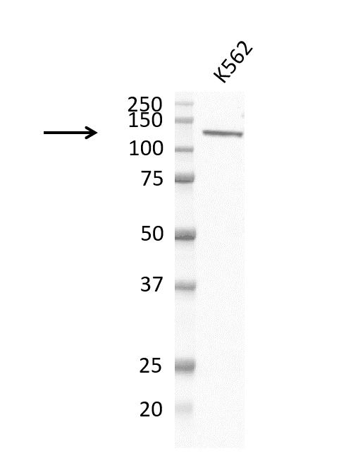 Anti PI-3 Kinase Subunit Gamma Antibody, clone OTI6D1 (PrecisionAb Monoclonal Antibody) thumbnail image 1