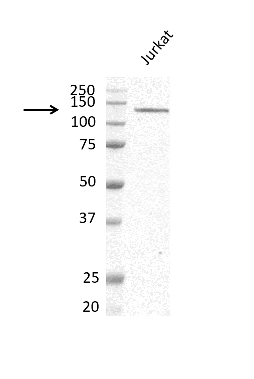 Anti PI-3 Kinase Subunit Gamma Antibody, clone OTI6D1 (PrecisionAb Monoclonal Antibody) thumbnail image 2