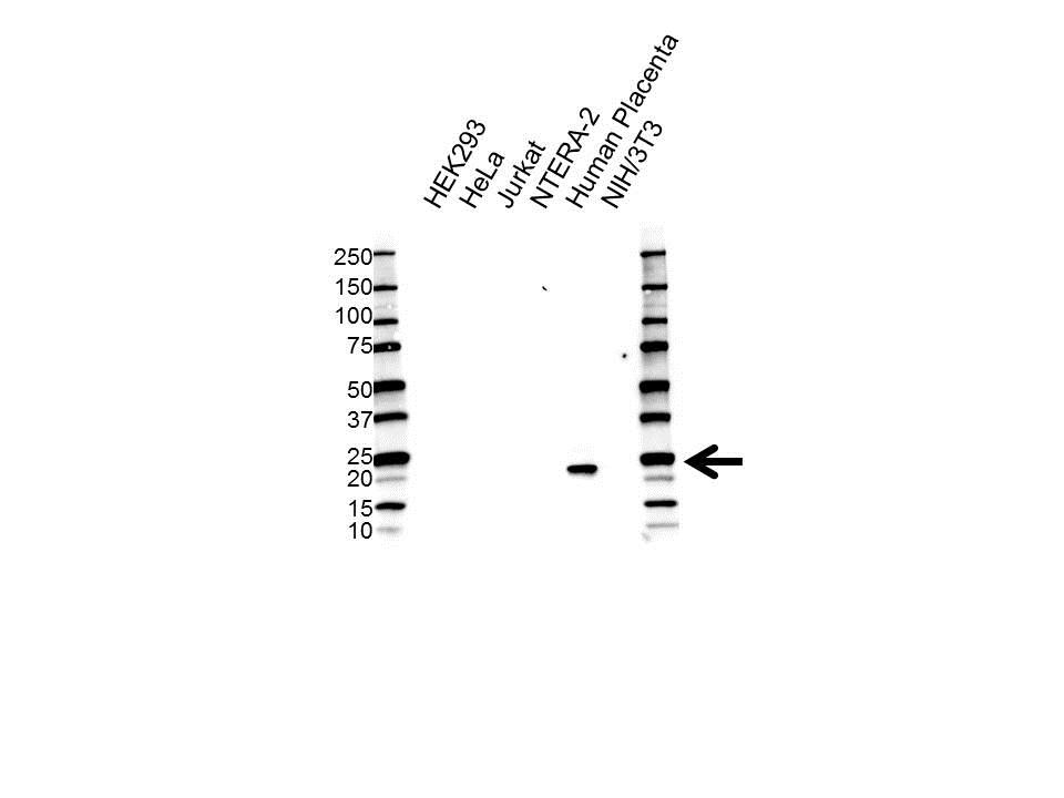 Anti Placental Lactogen Antibody, clone 4D6 (PrecisionAb™ Monoclonal Antibody) gallery image 1